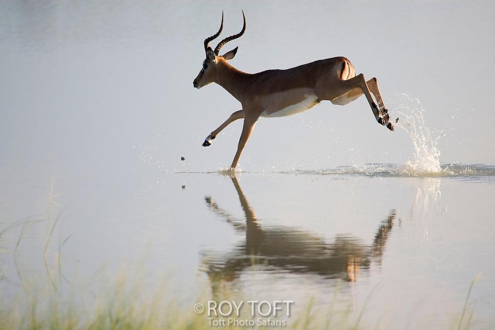 Black-faced Impala (Aepyceros melampus petersi), Etosha Park, Namibia, Africa