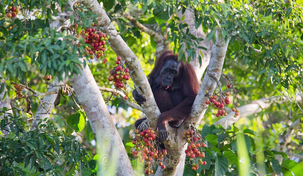 Bornean Orangutan (Pongo pygmaeus) feeding on ripe fruit of a ficus (fig) tree, Kinabatangan River, Sabah, Malaysia