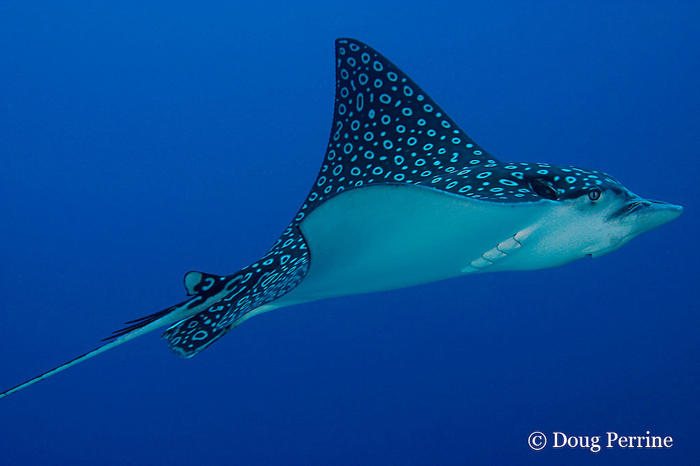 spotted eagle ray, Aetobatus narinari ( note parasite on snout by nostril - possibly a copepod ), Turneffe Atoll, Belize, Central America ( Caribbean Sea )