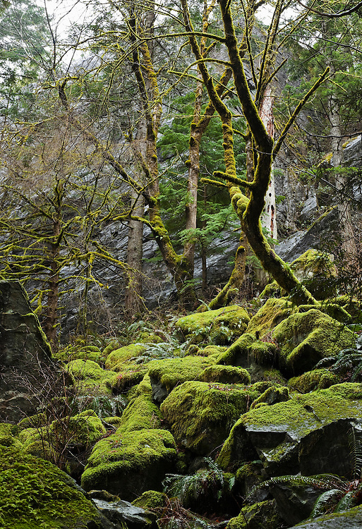 Moss covered rocks and trees on the Little Si trail in Western Washington foothills of the cascade mountains, USA.