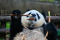 Chengdu, China - September 19, 2014: one giant Panda bear eating bamboo roots in Chengdu Sichuan China