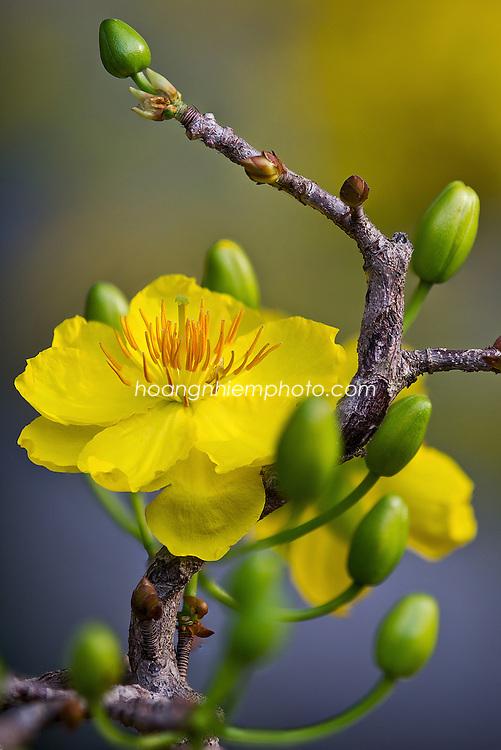 Vietnam Images-Flower-New year Hoa mai vàng -Hoàng thế Nhiệm