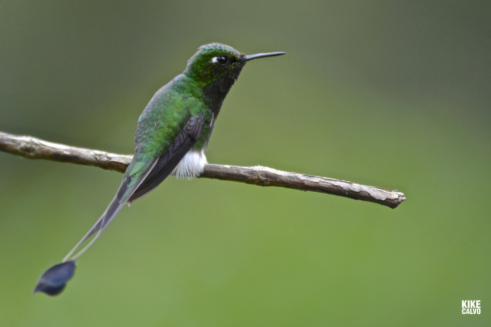 Booted racket-tail ( Orcheatus underwoodii ) , Western Andes