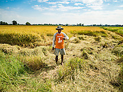 """23 NOVEMBER 2016 - AYUTTHAYA, THAILAND: A farm worker walks around the edge of a rice field during the rice harvest in Ayutthaya province, north of Bangkok. Rice prices in Thailand hit a 13-month low early this month. The low prices are hurting farmers. Rice exports account for around 10 percent of Thailand's gross domestic product, and low prices frequently lead to discontent in the rural areas of Thailand. The military government has responded by sending soldiers to rice mills, to """"encourage"""" mill owners to pay farmers higher prices. The Thai army and navy are also buying for their kitchens directly from farmers in an effort to get more money into farmers' hands.  PHOTO BY JACK KURTZ"""