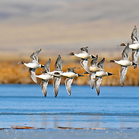 close up pintail ducks in flight