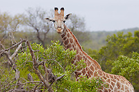 Giraffe stands in African woodland