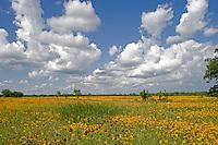 Coreopsis field (Coreopsis tinctoria), Columbus , Texas.