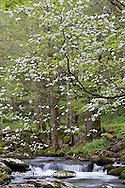 66745-04004 Dogwood trees in spring along Middle Prong Little River, Tremont area, Great Smoky Mountains National Park,TN