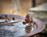 One-eyed House Finch. Image taken with a Nikon D5 camera and 600 mm f/4 VR lens