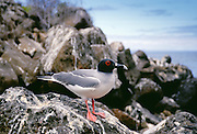 Swallow-tailed gull perched rocks, Galapagos Islands, Ecuador