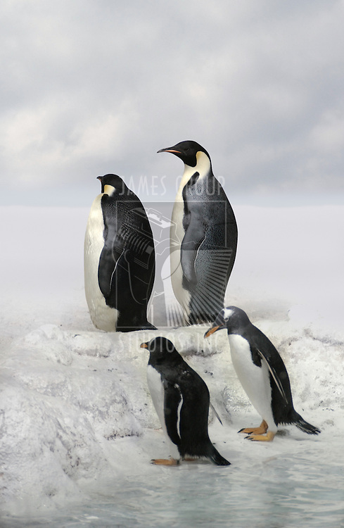 penguin, emperor penguins, cold, Antarctica, habitat, extreme, bird, freezing, northern climate, endangered habitat, polar ice cap, global warming,
