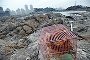 TIANJIN, CHINA - AUGUST 24: (CHINA OUT) <br /> <br /> Chemical-defence Soldiers Detect Toxic Substance<br /> <br /> Chickens in the cage are put at blasts scene to detect whether lives could be existed here in the future in Tianjin Binhai explosion site on August on August 24, 2015 in Tianjin, China. The death toll from the Tianjin warehouse explosions two weeks ago has risen to 139, and 34 others remain missing, rescue authorities said on Wednesday.<br /> ©Exclusivepix Media