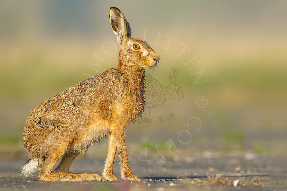 European Hare (Lepus europaeus) adult, alert on farm track South Norfolk, UK. April.