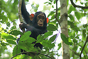 Juvenile Chimpanzee (Pan troglodytes) on a tree Photographed in Uganda, Kibale National Park