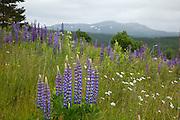 Hagelufpin (Lupinus polyphyllus), sandlupin (Lupinus nootkatensis) eller jærlupin (Lupinus perennis), begge er nordamerikanske arter og svartelistet i Norge. Store mengder langs vegkantene i Tydal i Sør-Trøndelag.