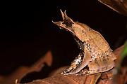 Bornean Horned Frog (Megophrys nasuta) from Kubah National Park, Sarawak, Borneo