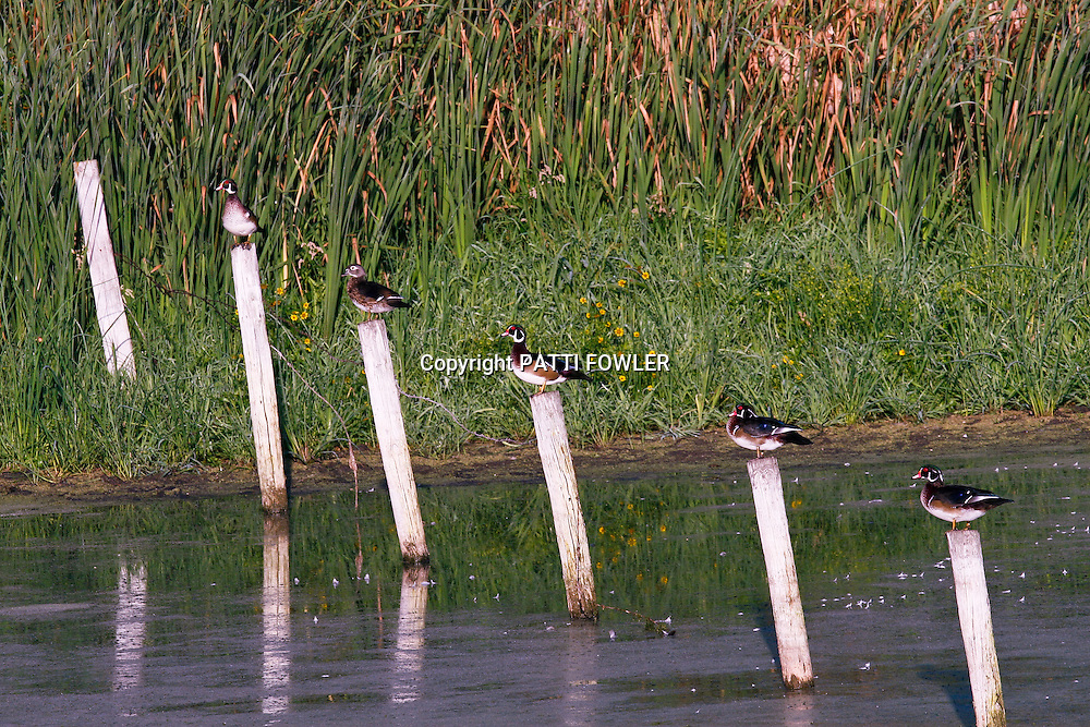 Wood ducks lined up on fence posts in pond