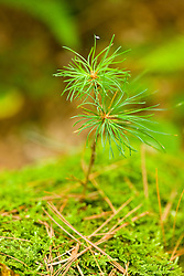 White pine seedling in a forest in Bridgewater, Massachusetts.  SUmmer.