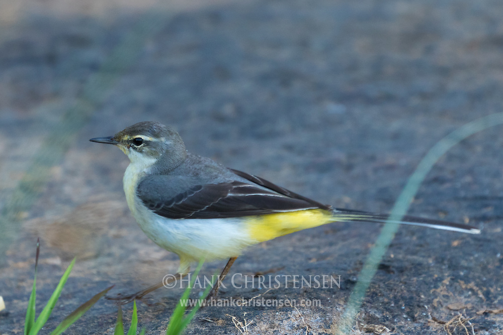 A grey wagtail stands on a rocky shore of a river, Tamil Nadu, India.