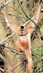 A gibbon enjoys the sunshine in the Hannover zoo, Germany, on March 6, 2013, March 6, 2013. Photo by Imago / i-Images...UK ONLY..Contact..Andrew Parsons: 00447545 311662.Stephen Lock: 00447860204379