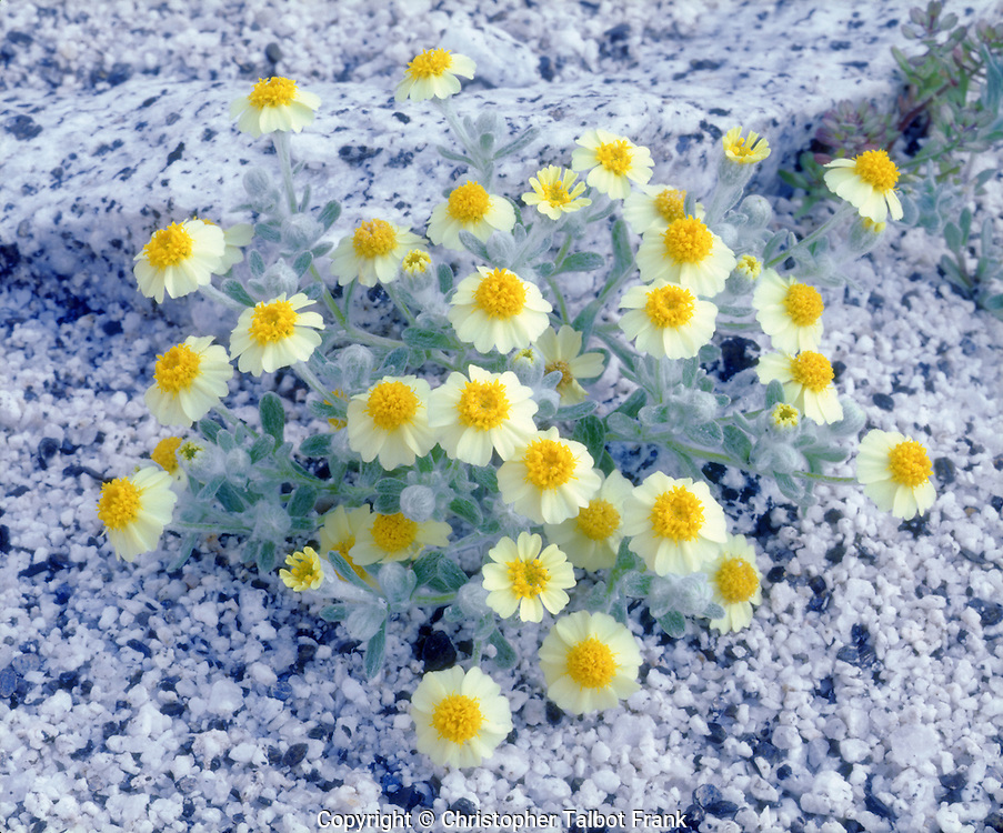 The white and black granite background makes an excellent setting for my Wolly Daisy wildflowers photo.  The soft lighting works great for the subtile colors.