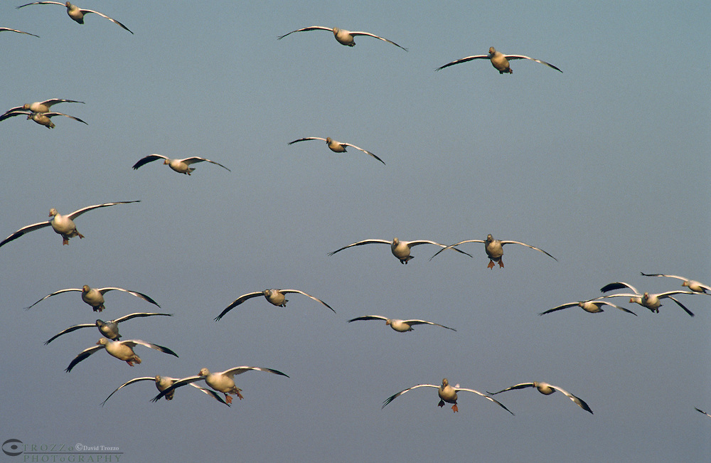 Snow Geese (Chen caerulescens) who's population was in decline at the beginning of the 20th century has now recovered to sustainable levels. To the point where, the saltmarsh wintering grounds are becoming severely degraded, affecting other species using the same habitat.