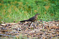 Great-tailed Grackle (Quiscalus mexicanus) Lake Chapala, Ajijic, Jalisco, Mexico.