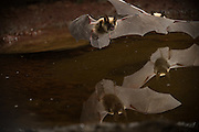 Two western long-eared bats (Myotis evotis) take turns drinking from a desert watering hole in the high desert of Oregon.