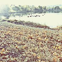 Flock of birds on a lake in autumn, over exposed.