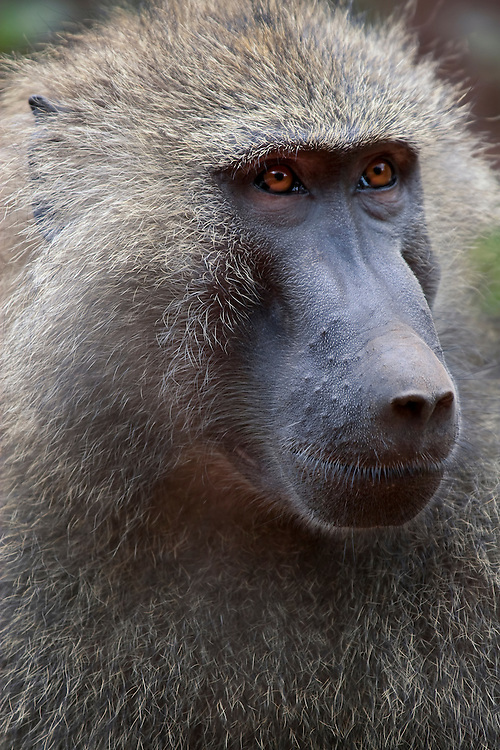 (Papio anubis) Male Olive Baboons can weigh over 50 lbs and while they look docile while foraging for food can be extremely ferocious and dangerous. Lake Manyara National Park, Tanzania