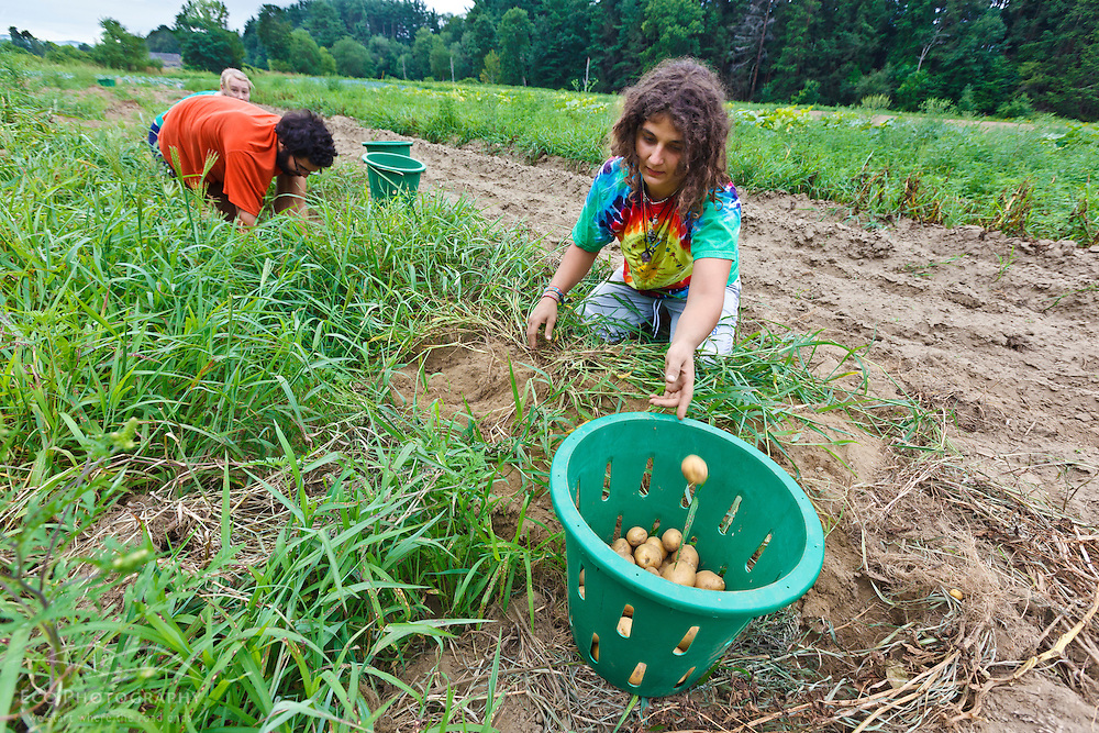 Farmhands Tom Crimer and Leah Visconti harvest potatoes at the Crimson and Clover Farm in Northampton, Massachusetts.