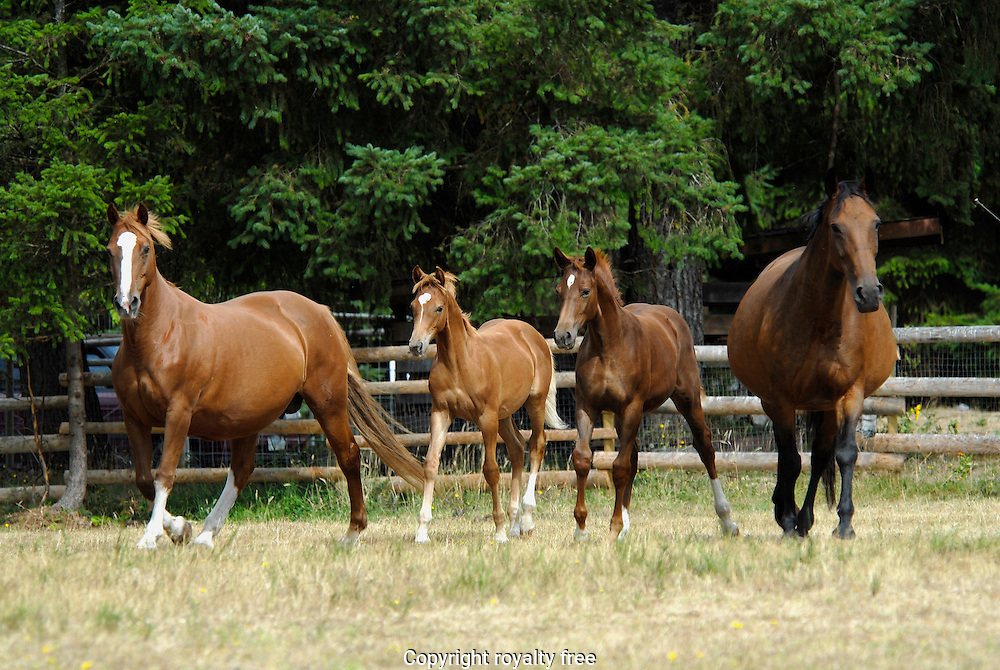 warmblood mares & foals