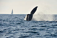 Whales and surfers share the ocean - 30 July 2018