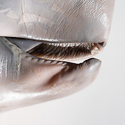 Close-up view of the jaw and mouth area of a sperm whale fetus (Physeter macrocephalus) measuring between 60cm and 70cm. The fetus was male, found in the teaching collection of a natural history museum. The origin of the preserved specimen is unknown.
