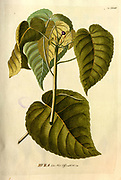 Coloured Copperplate engraving of a Hura tree from hortus nitidissimus by Christoph Jakob Trew (Nuremberg 1750-1792)