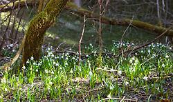 THEMENBILD - eine Frühlingsknotenblumenwiese im Wald, aufgenommen am 02. April 2018, Kaprun, Österreich // Spring knot flower field in the forest on 2018/04/02, Kaprun, Austria. EXPA Pictures © 2018, PhotoCredit: EXPA/ Stefanie Oberhauser