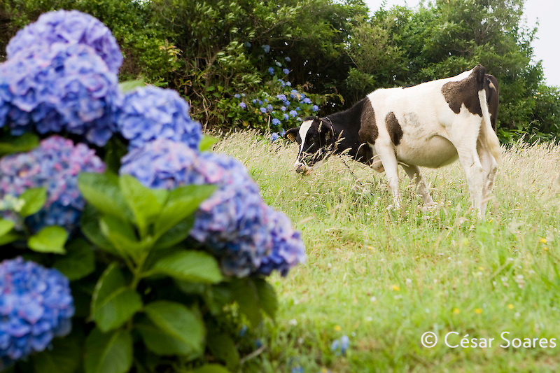 Young bovine eating, Sao Miguel Azores Portugal