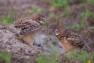 Young burrowing owls staring at each other at entrance to burrow, © 2011 David A. Ponton