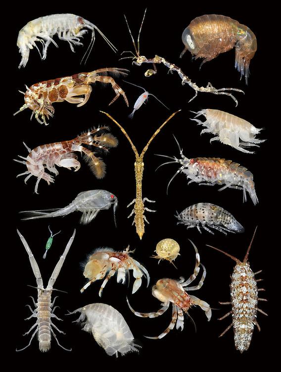 british marine crustaceans<br /> from Complete British Coastal Wildlife