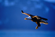Image of a bald eagle hunting for prey on the Kenai Peninsula, Alaska, the bald eagle is a bird of prey and national bird and symbol of the United States of America