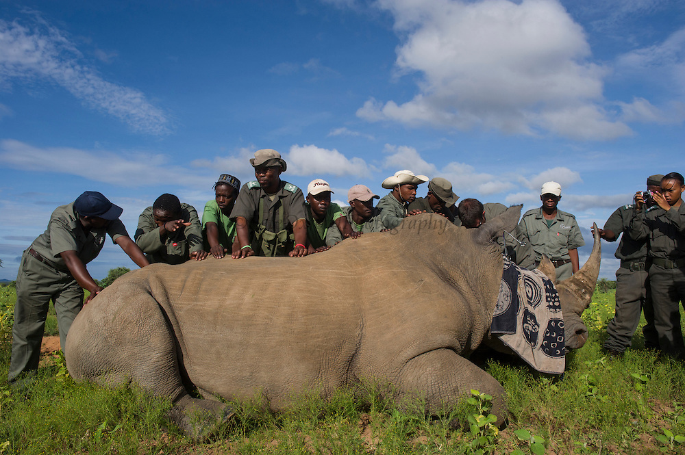 White rhinoceros (Ceratotherium simum) darted for ear notching<br /> , <br /> SOUTH AFRICA<br /> RANGE: Southern & East Africa<br /> ENDANGERED SPECIES