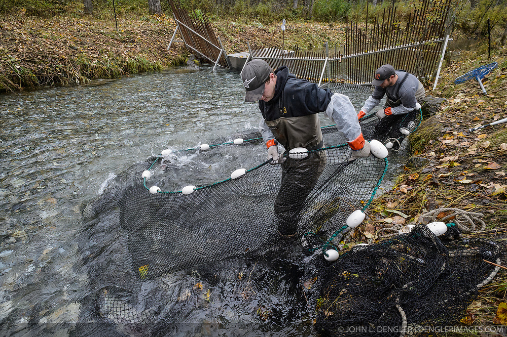 Dylan Burbank (left) and David Campbell, fish technicians for the non-profit Northern Southeast Regional Aquaculture Association, Inc. (NSRAA), use a large net to catch chum salmon trapped in a temporary weir located on the man-made spawning channel of Herman Creek near Haines, Alaska.<br /> <br /> NSRAA built the channel to collect wild broodstock by harvesting spawning female and male salmon for their eggs and milt to artificially spawn wild chum salmon. The eggs are fertilized with milt and placed in stream-side incubation boxes on Herman Creek and the Klehini River. In 2014, 2.4 million eggs were seeded into these incubation boxes. The 2013 incubation box survival rate was 90%. Without the artificial spawning, natural survival is said to be only 10%.<br /> <br /> Based in Sitka, Alaska, NSRAA conducts salmon enhancement projects in northern southeast Alaska. It is funded through a salmon enhancement tax (of three percent) and cost-recovery income. NSRAA also produces sockeye, chinook, and coho salmon.<br /> <br /> Male chum salmon return to Herman Creek to spawn with female chum salmon during the fall chum salmon run. The chum salmon return to freshwater Herman Creek, tributary of the Klehini River after living three to five years in the saltwater ocean. Spawning only once, chum salmon die approximately two weeks after they spawn. <br /> <br /> Chilkat River and Klehini River chum salmon are the primary food source for one of the largest gatherings of bald eagles in the world. Each fall, bald eagles congregate in the Alaska Chilkat Bald Eagle Preserve.