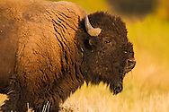 The setting sun illuminates a bison grazing in a Grand Teton grassland