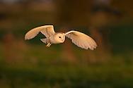 Barn Owl (Tyto Alba) adult in flight, hunting, Norfolk, UK.