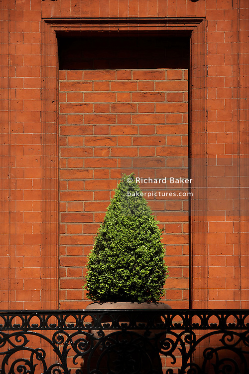 On the corner of Draycott Place SW1 and Cardogan Gardens SW3 is Stuart House, a red brick property boasting clipped vegetation set in a brick window recess that suggests that at one time, a window was removed and filled in with more brick - its mortar and pointing is a different spacing. Strong spring sunshine is almost overhead making hard shadows on the recess and on the well-painted black gloss paintwork on the railings. Stuart House was constructed in 1880. It is a large red-brick detached house in the 'Queen Anne' style. Cadogan Gardens SW3, is an 1890s development between the King's Road and Sloane Street.
