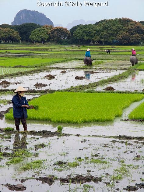 women working in watery rice paddy; farming; labor; water buffalos; Vietnam; winter