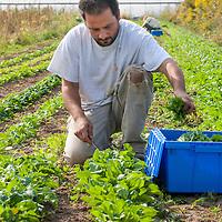 Farmer Alvaro Venturelli of Plan B Organic Farm harvesting mixed salad greens.