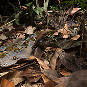 Reticulated Python (Malayopython reticulatus) in ambush on the forest floor, in situ, in Khao Phra Thaeo Wildlife Sanctuary, Thailand