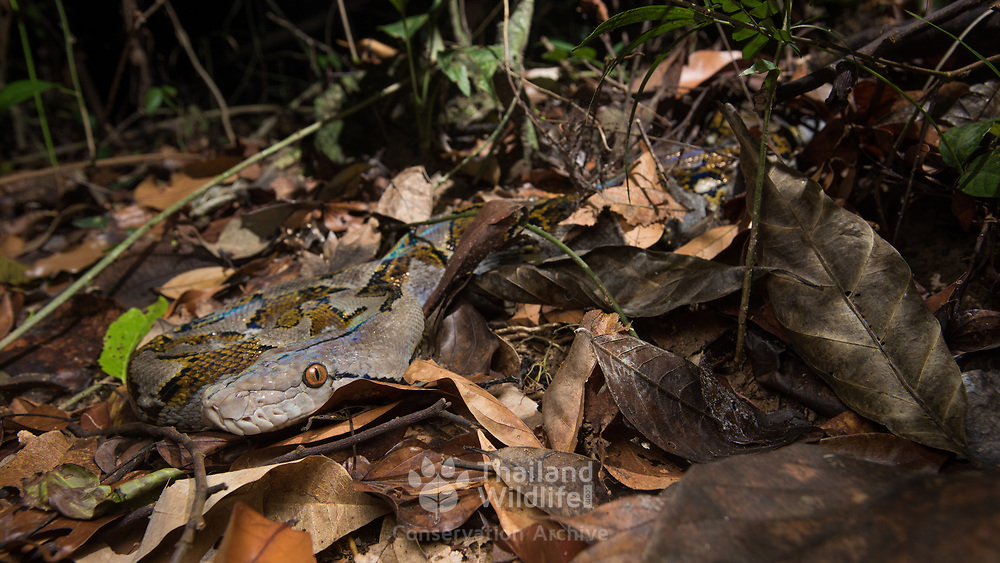 Reticulated Python (Malayopython reticulatus) in ambush on the forest floor, in situ, in Khao Phra Thaeo Wildlife Sanctuary, Thailand