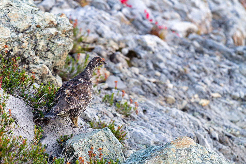 A Sooty Grouse (Dendragapus fuliginosus) walking warily near the trail to Table Mountain in the Mount Baker-Snoqualmie National Forest in Washington State, USA
